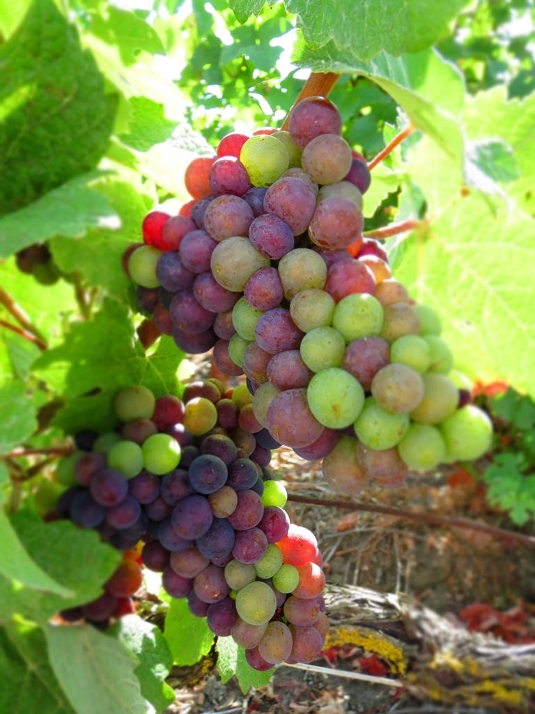 Crise du prix du raisin en Champagne ? Non : accord sur 8 000 kg de récoltes à l'hectare...
